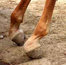 foal-deformity-1